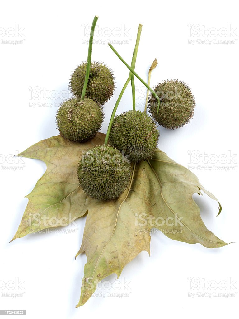 Maple Tree Seed royalty-free stock photo