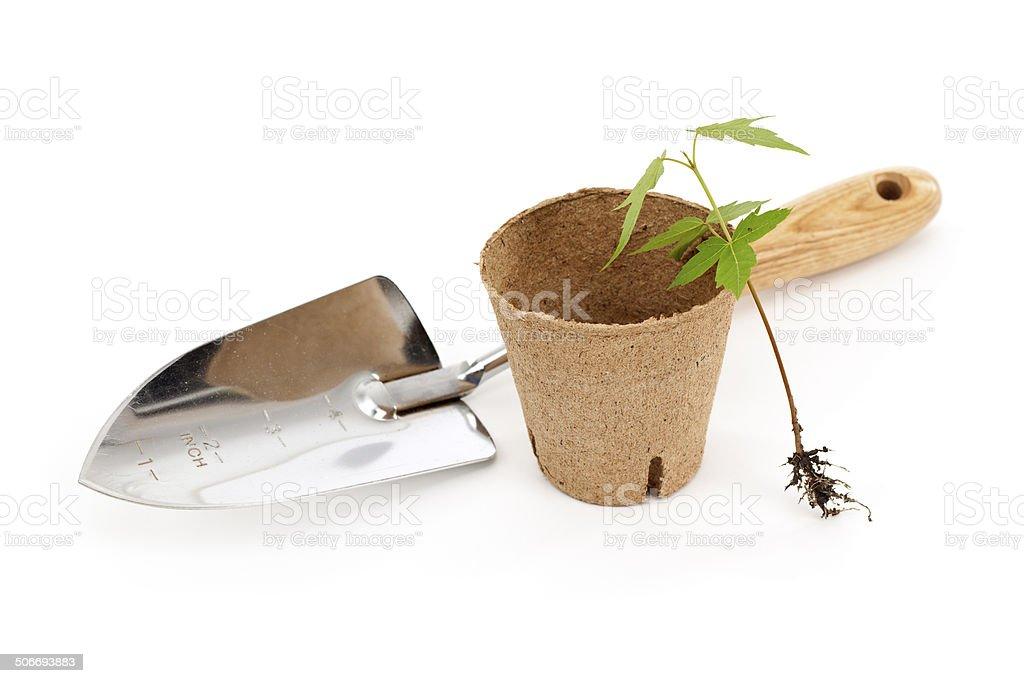 Maple Tree Seedling stock photo