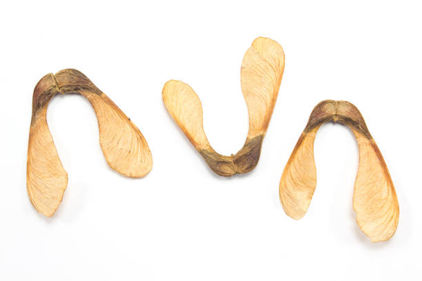 Maple tree seeds isolated on white background Maple tree seeds isolated on white background sycamore tree stock pictures, royalty-free photos & images