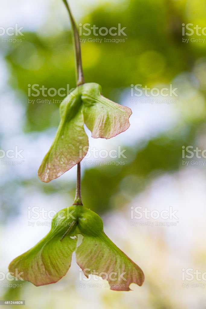 Maple Tree Seeds - Royalty-free 2015 Stock Photo
