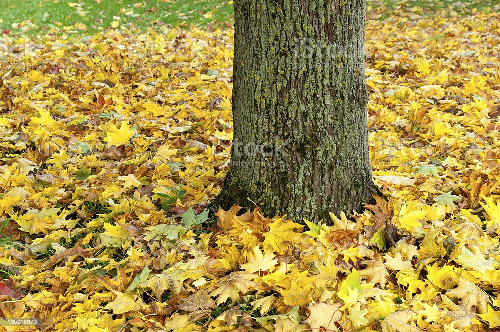 Maple tree trunk with autumn leaves on the ground stock photo