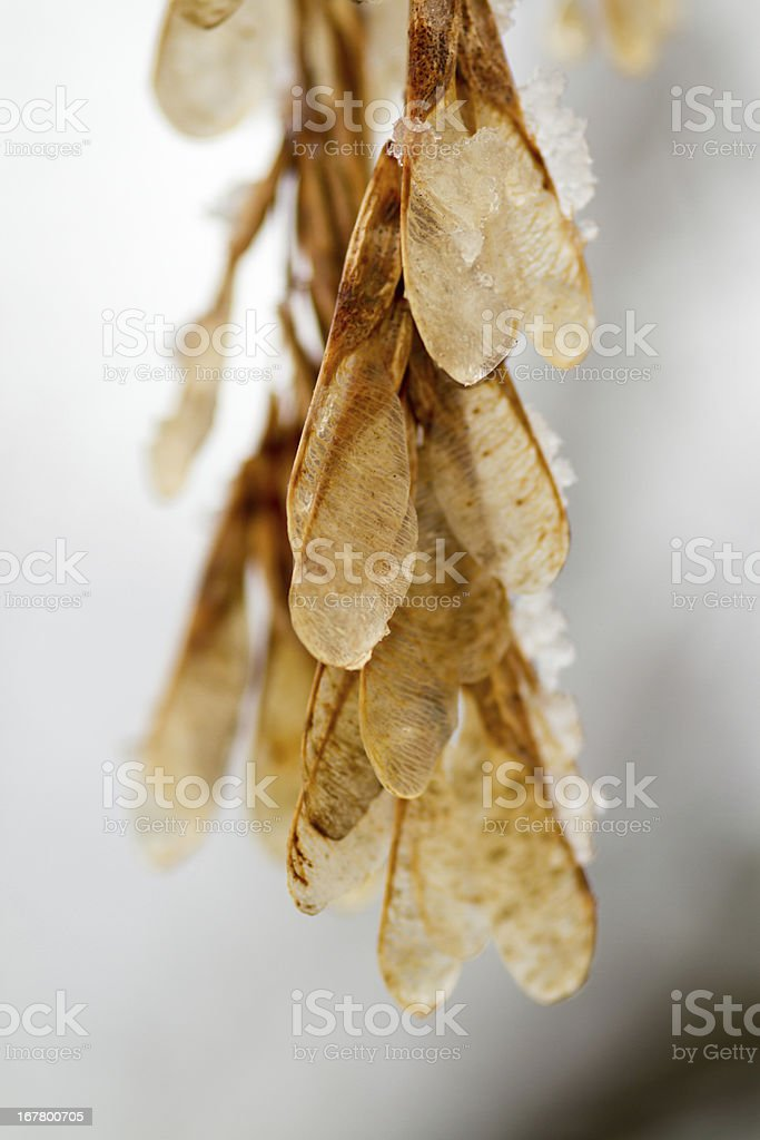 Maple Tree Whirlybirds covered in ice stock photo
