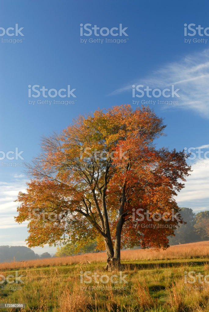 Maple Tree with Blue Sky royalty-free stock photo