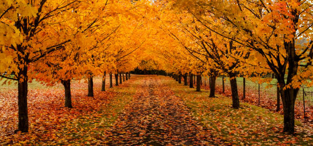 maple trees along driveway with autumn leaves on the ground panoramic - клён стоковые фото и изображения