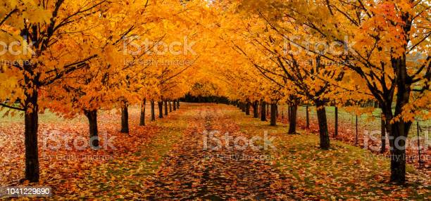 Photo of Maple trees along driveway with autumn leaves on the ground panoramic