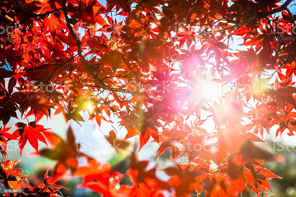maple trees and backlight stock photo