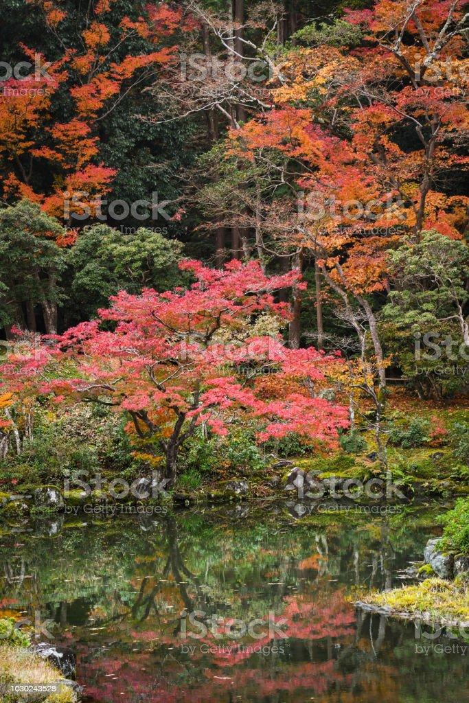 Maple trees at Nara , Nara, Japan