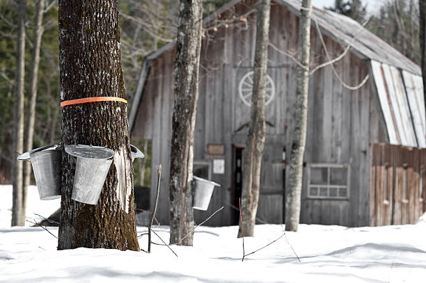 maple trees in spring, cabane a sucre - maple syrup stock photos and pictures