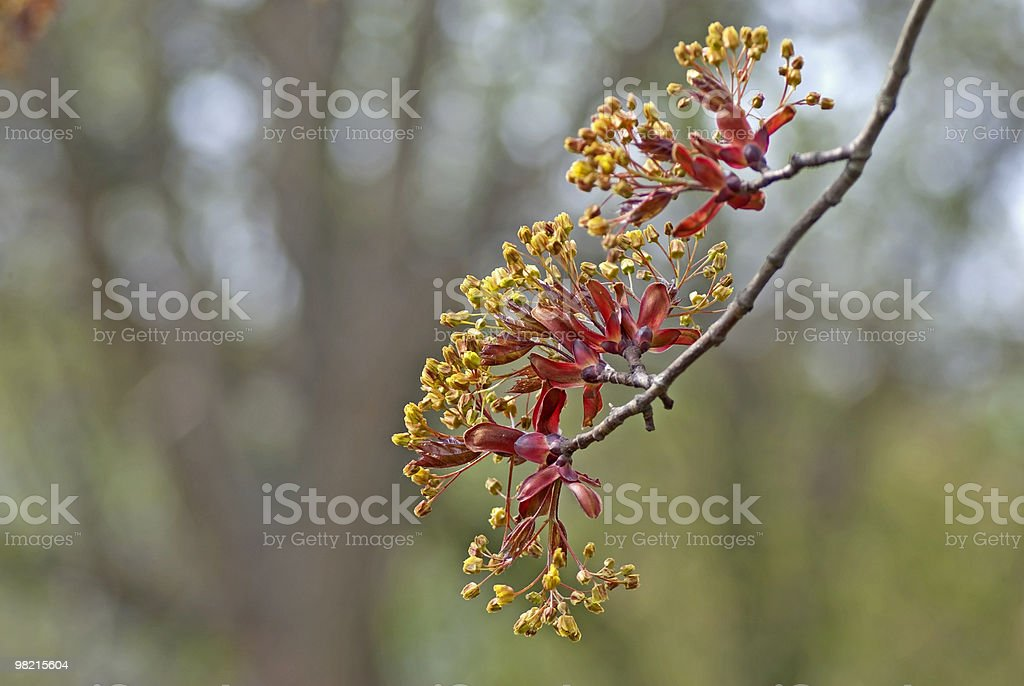 Maple twig royalty-free stock photo