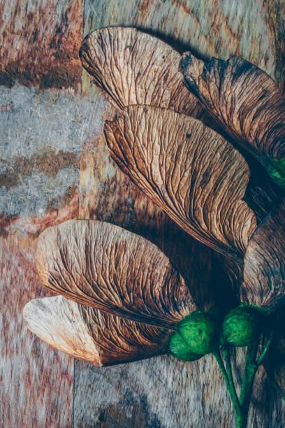 maple with green seeds photo – zdjęcie