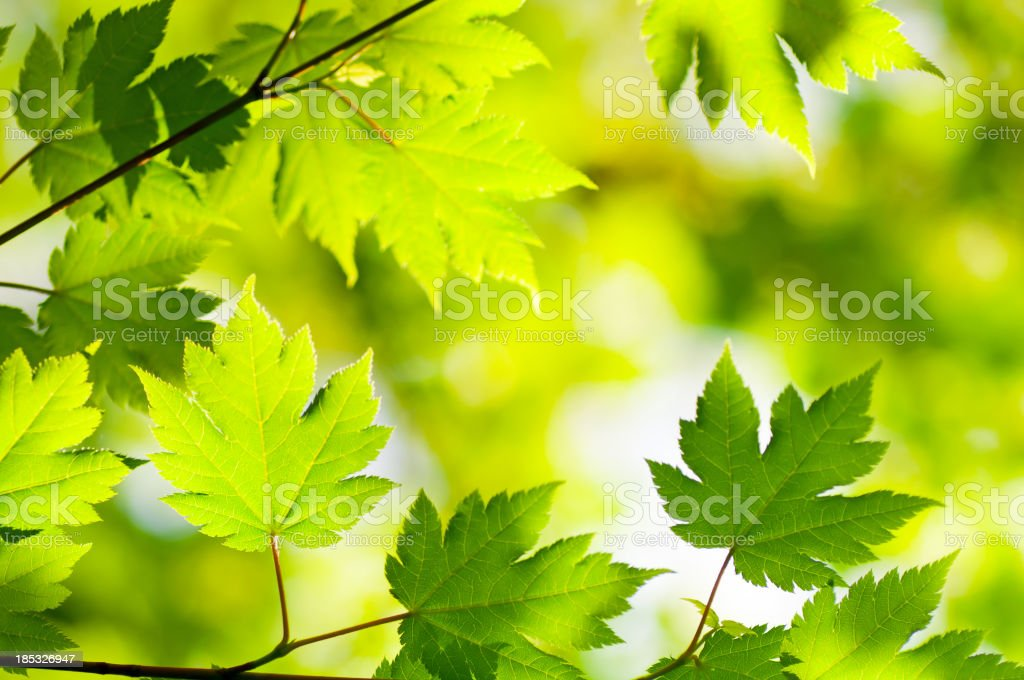 Maple Woods royalty-free stock photo