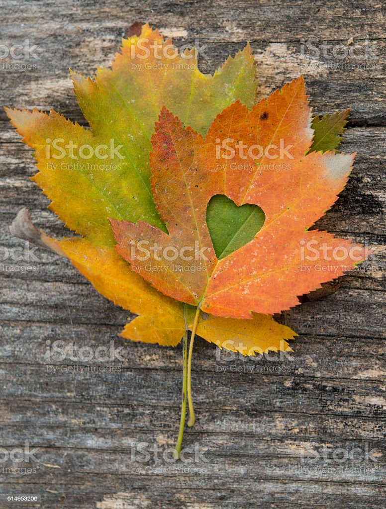 Maple-Leaf to cut the heart on the tree. – Foto