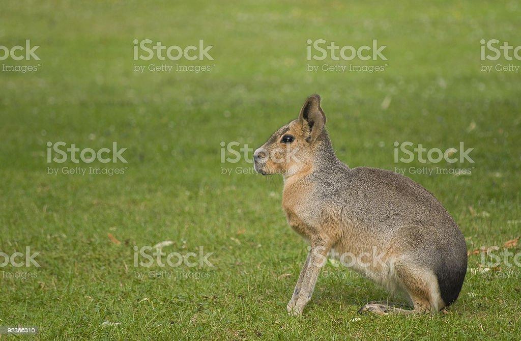 Mara Rabbit royalty-free stock photo