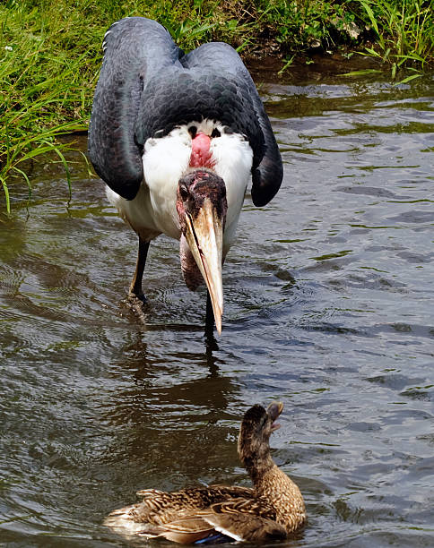 Marabou Picture of a Marabou Bird trying to scare a duck adjutant stock pictures, royalty-free photos & images