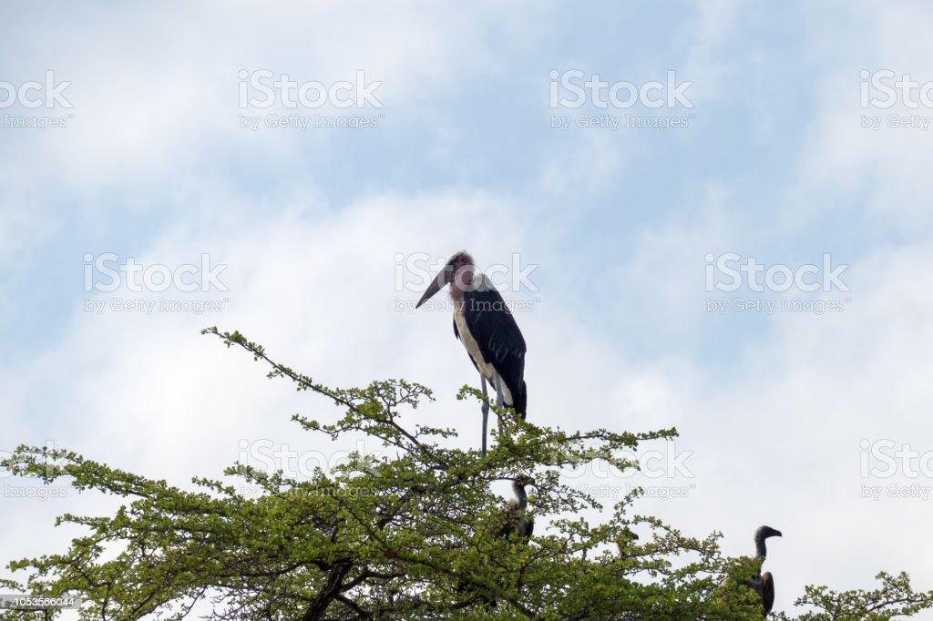 Marabout d'Afrique (Marabout crumeniferus) et quelques vautours à l'Acacia - Photo
