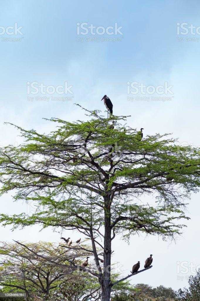 Marabout d'Afrique (Marabout crumeniferus) et des vautours dans l'arborescence - Photo