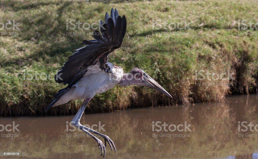 marabou stork flying nicely along the river stock photo