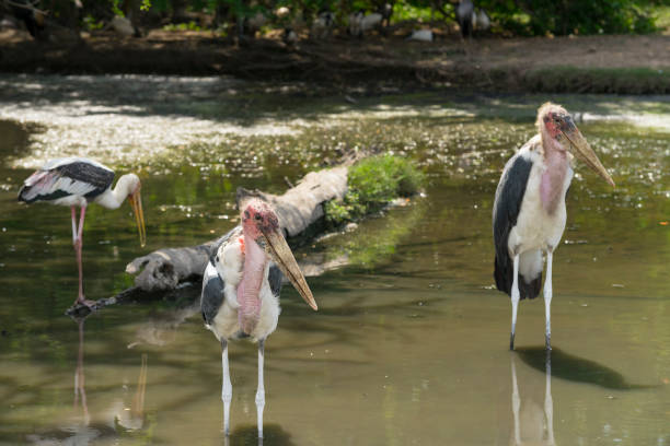 marabou stork in a zoo marabou stork resting in the pond in a zoo adjutant stock pictures, royalty-free photos & images