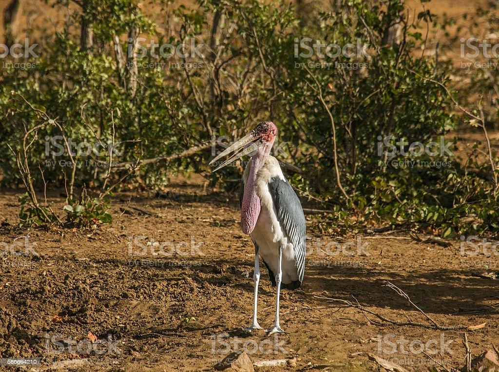 marabou stork in the riverbank stock photo