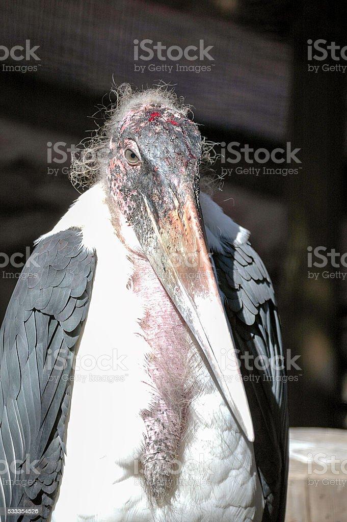 Marabou stork (Leptoptilos crumenifer) stock photo