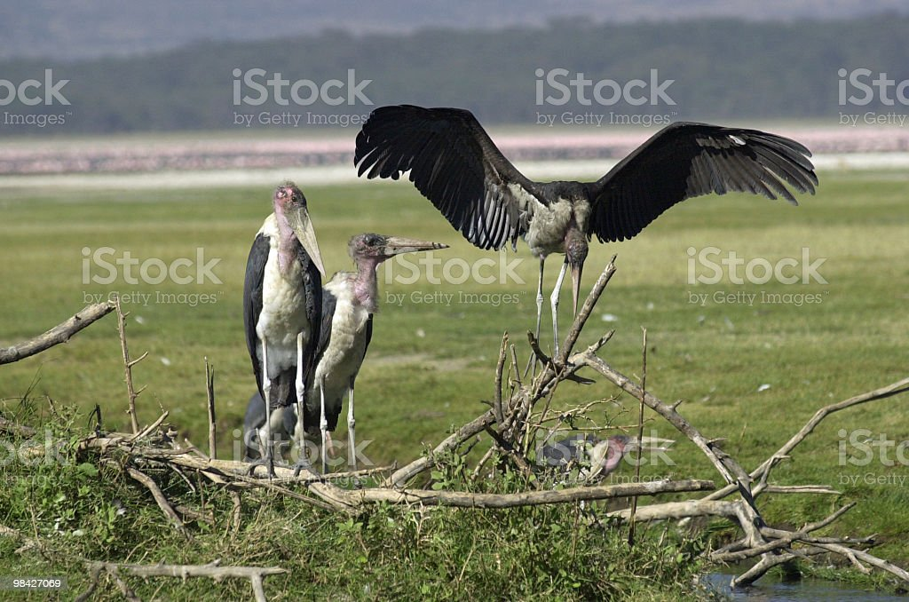 Marabou Stork royalty-free stock photo
