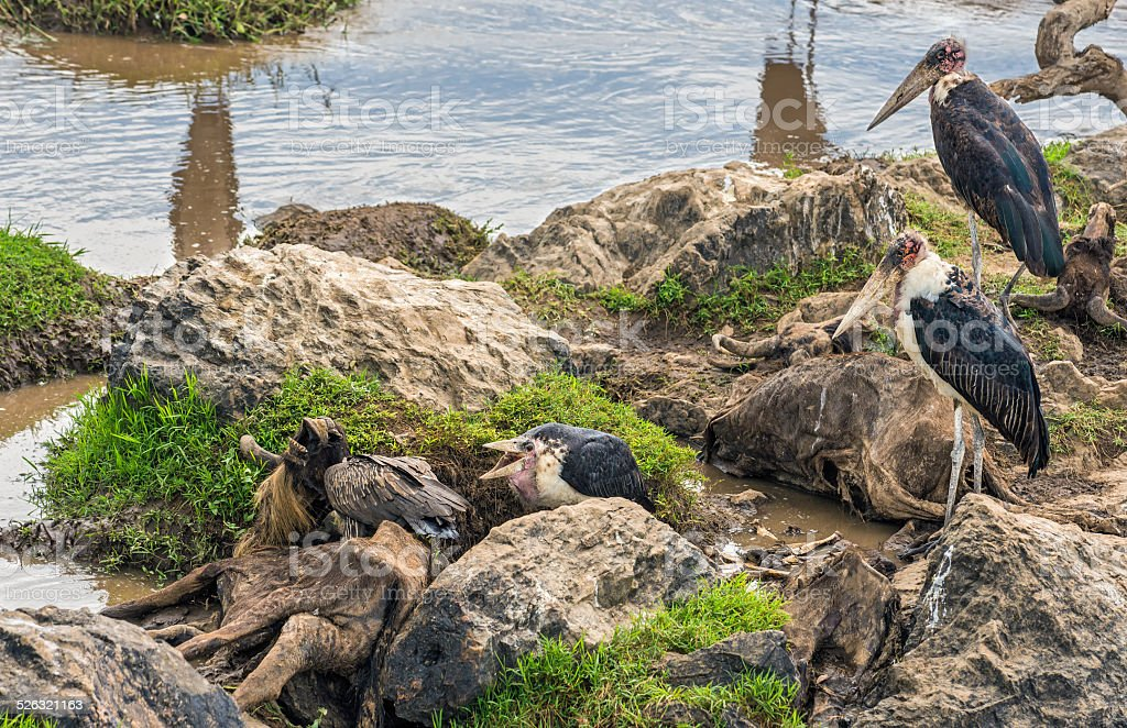 Marabou storks on dead wildebeest at the Mara River, Kenya stock photo