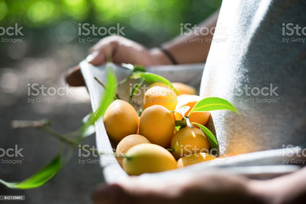 Marangs,gardener,fruit, Agro-tourism,travel of thailands stock photo
