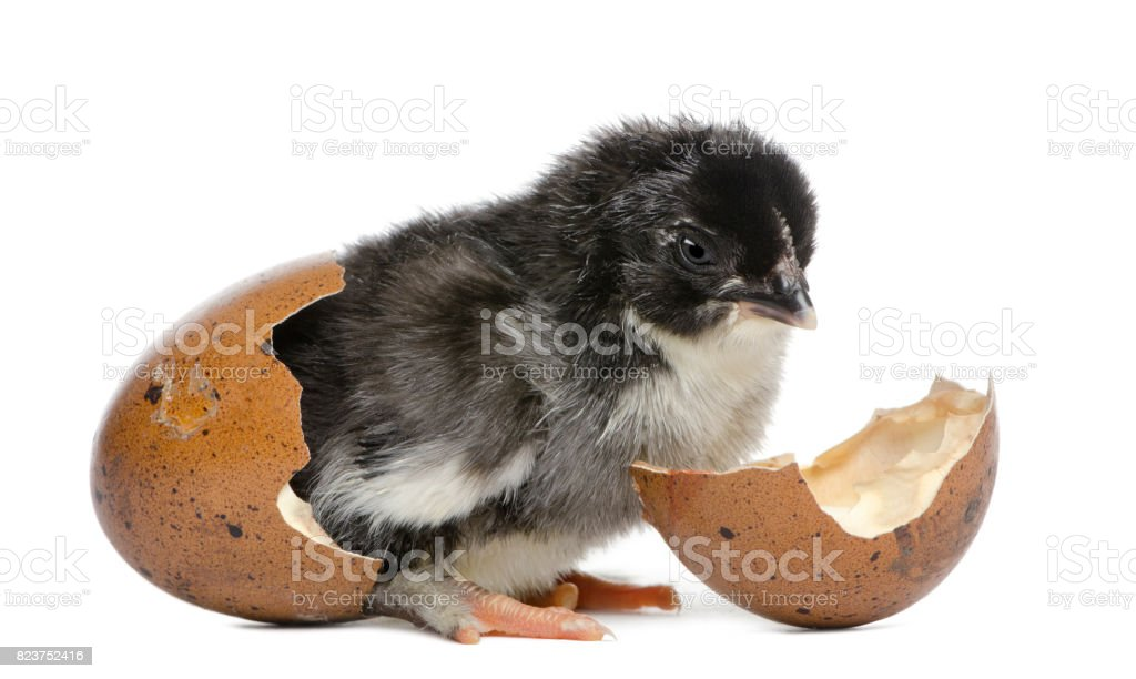 Marans chick, 15 hours old, standing in the egg from which he hatched out against white background stock photo