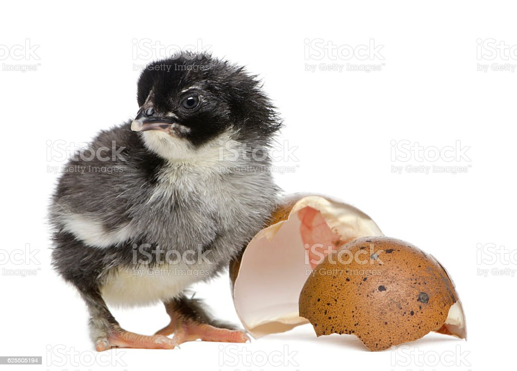 Marans chick standing next to his egg stock photo