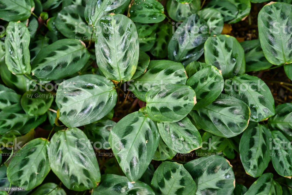 Maranta Cristata Bicolor Tropical House Plants With Leaves With Unique Dark And Light Stripe And Dot Pattern Covering Ground Stock Photo Download Image Now Istock