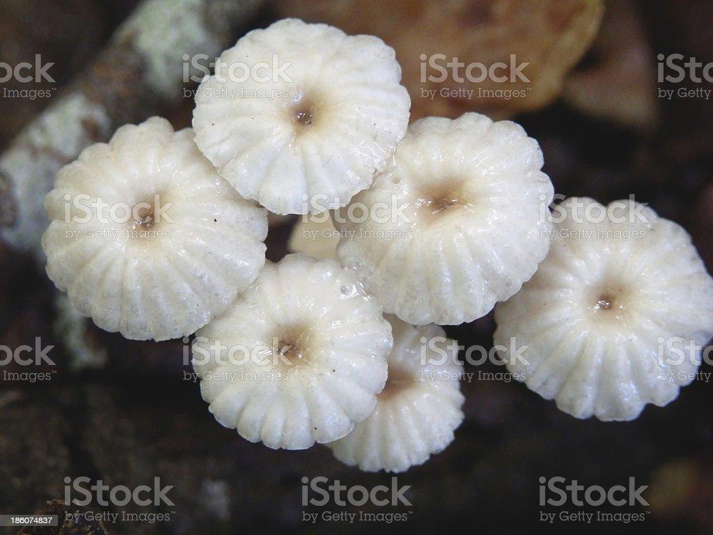 Marasmius rotula stock photo