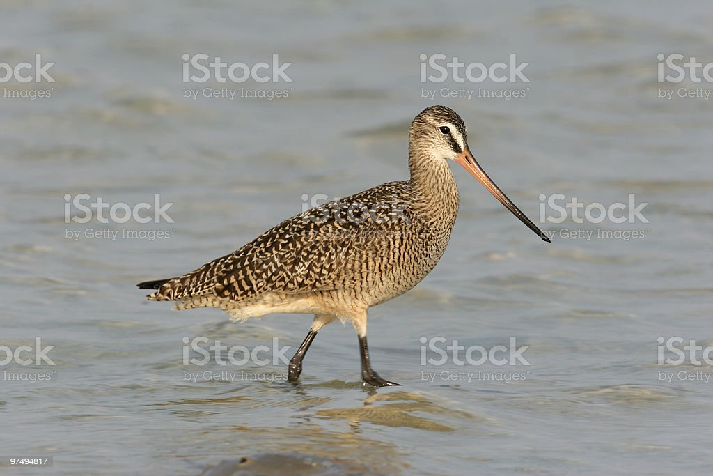 Marbeled Godwit walking in water royalty-free stock photo