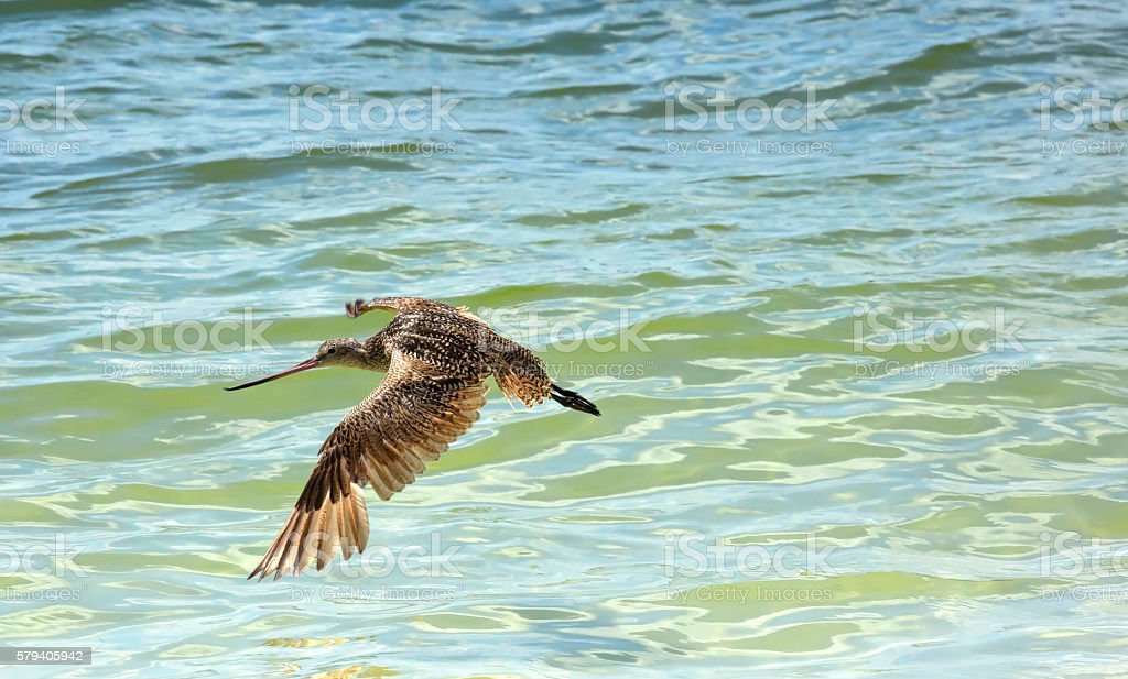 Marbled Godwit flying above the Gulf of Mexico stock photo