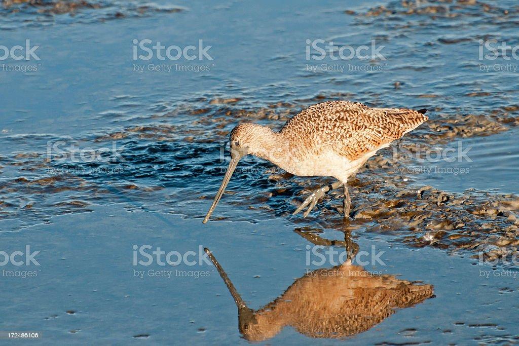 Marbled godwit, Limosa fedoa stock photo