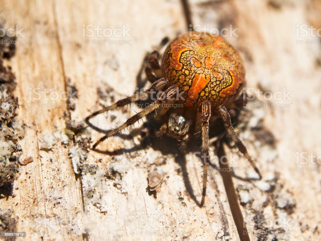 Marbled orb-weaver on a wood surface in the sunlight stock photo