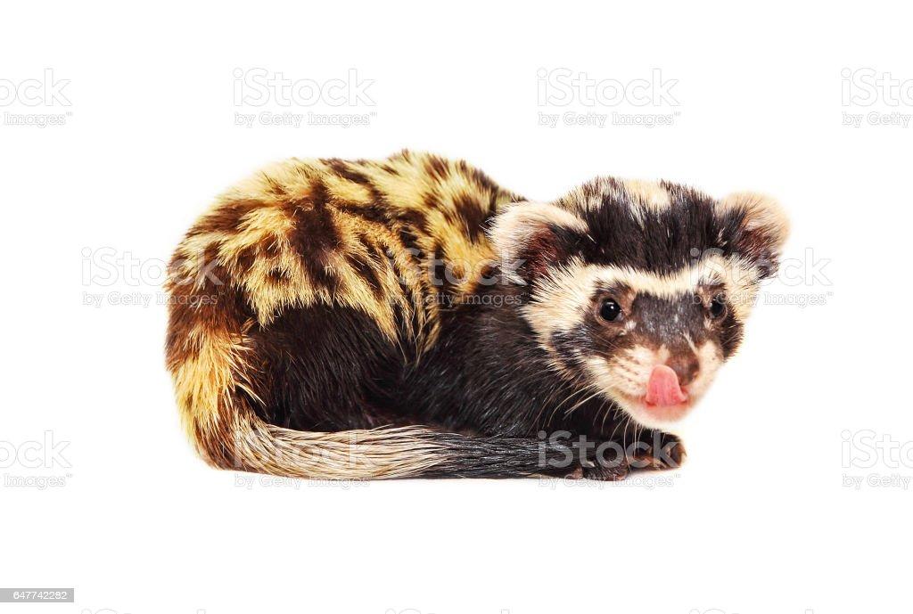 Marbled polecat (Vormela peregusna) licking her lips on white background. stock photo