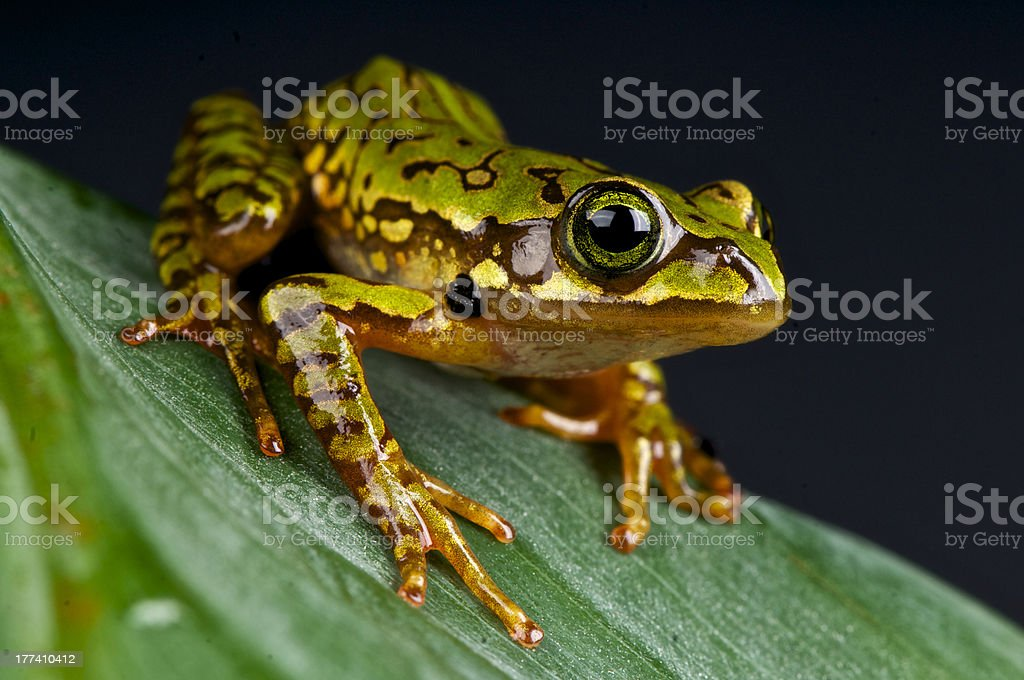 Marbled treefrog / Boophis microtympanum stock photo