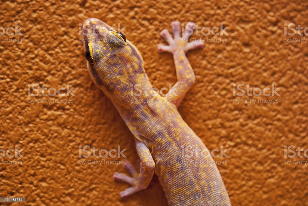 Marbled velvet gecko in central Australia stock photo