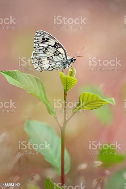 Marbled white butterfly melanargia galathea picture id488563142?b=1&k=6&m=488563142&s=612x612&h=cijwtjkasgjgxprunndttm4dyfbw6r6dohyy8vfowz4=