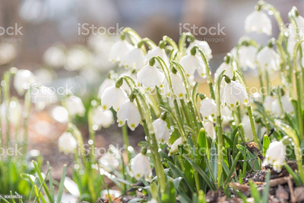 März-Cup, Leucojum Vernum im Frühjahr bei Gegenlicht – Foto