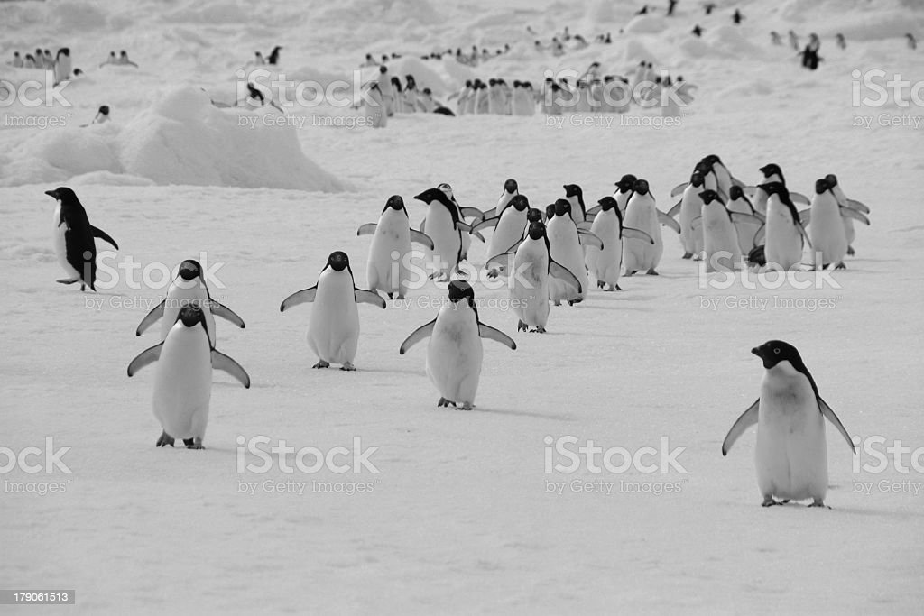 March of the penguins stock photo