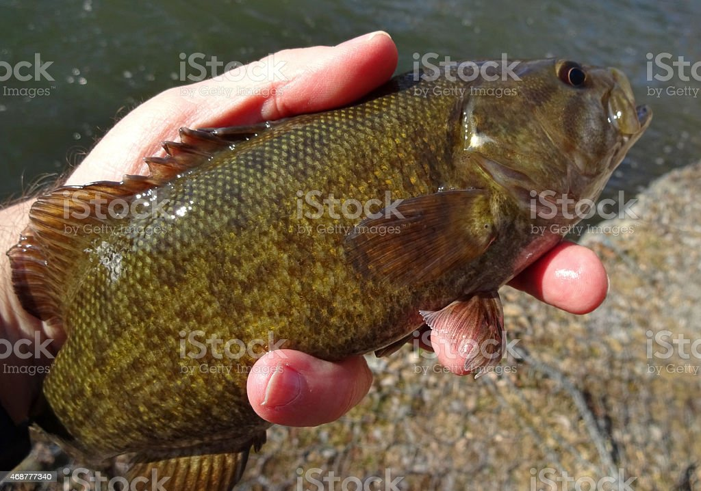 March Smallmouth Bass From Antietam Creek stock photo