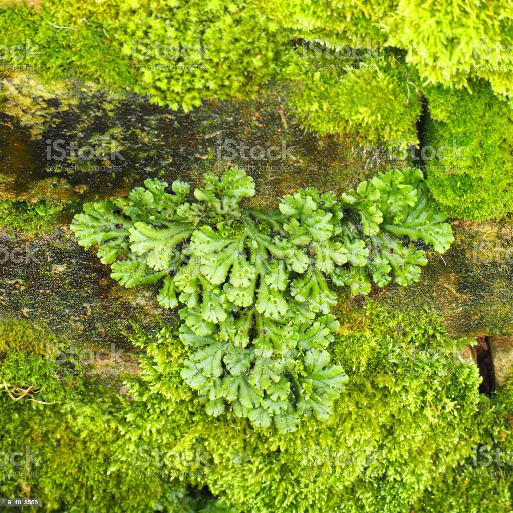 Marchantia polymorpha, known as the common liverwort or umbrella liverwort, moss on the old stones. Thallose stock photo