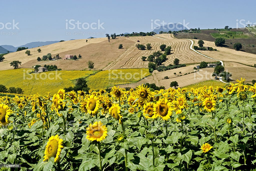 Marche - Landscape with sunflowers at summer royalty-free stock photo