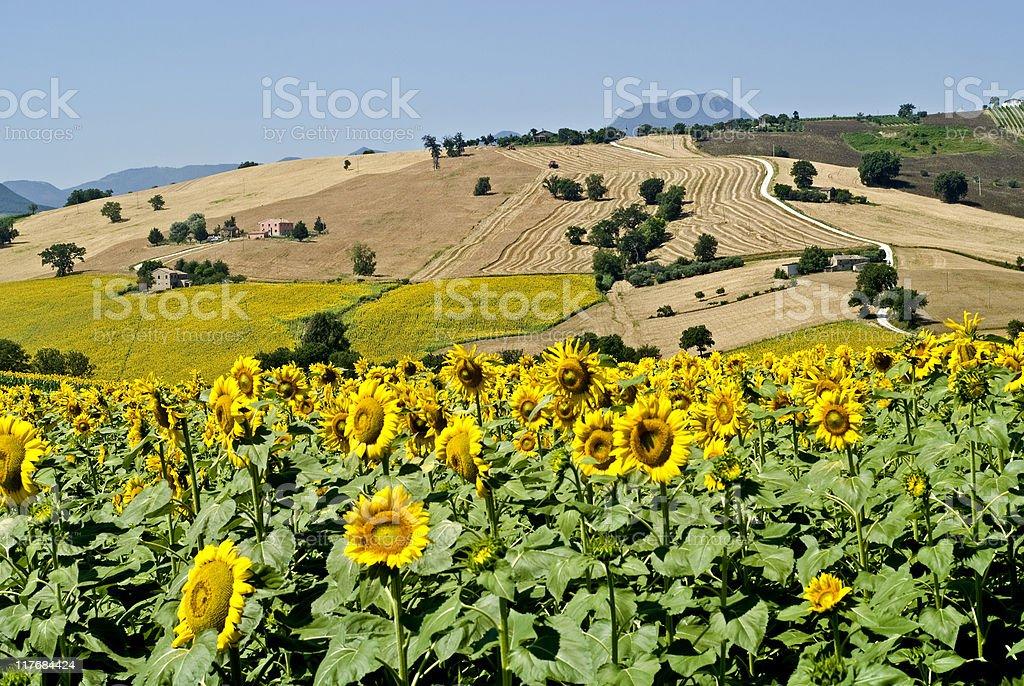 Marchepaesaggio Con Girasoli In Estate - Fotografie stock e altre ...