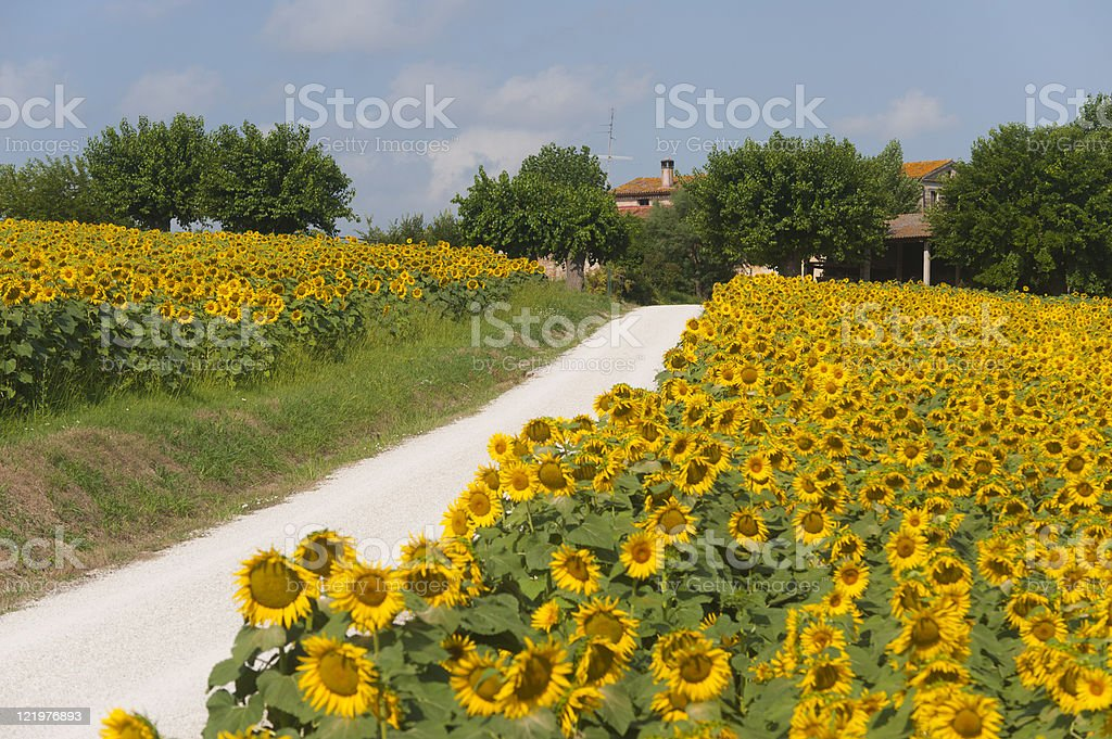 Marches (Italy) - Country road and sunflowers royalty-free stock photo