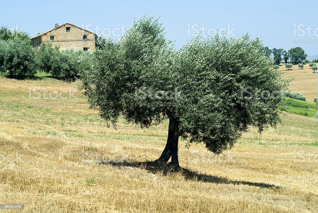 Marches (Italy) - Landscape at summer with big olive tree royalty-free stock photo