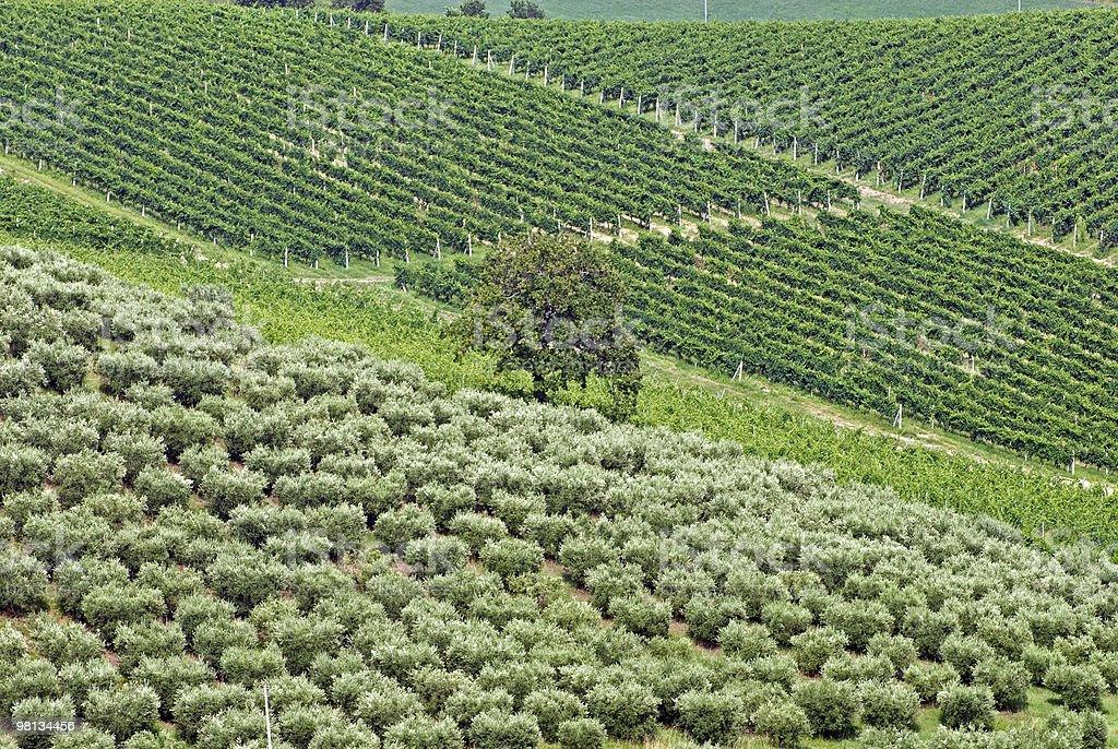 Marche: Paesaggio rurale di estate con uliveti e vigneti foto stock royalty-free
