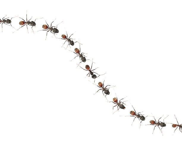 Marching ants (XXL)  ant stock pictures, royalty-free photos & images