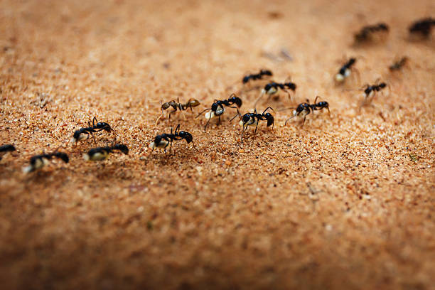 Marching ants Colony of ants and their teamwork ant stock pictures, royalty-free photos & images